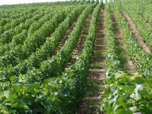 Viticultura 2