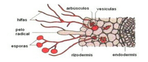 micorrizas-2
