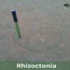 rhizoctonia sensor POGO
