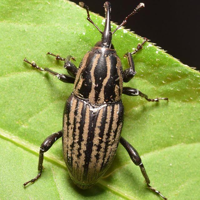 Escarabajo con pico